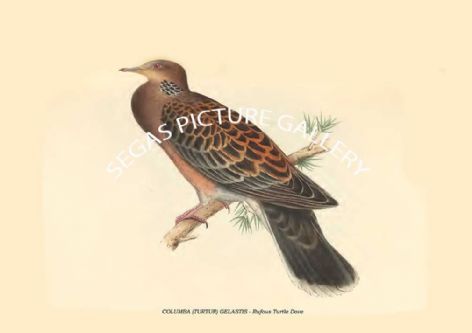 Fine art print of the COLUMBA (TURTUR) GELASTIS - Rufous Turtle Dove by Philipp Franz Balthasar von Siebold (1850)